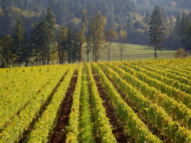 vineyards on the rolling hills of willammette valley, a popular wine region in oregon, with pine trees and evergreens behind the vineyard