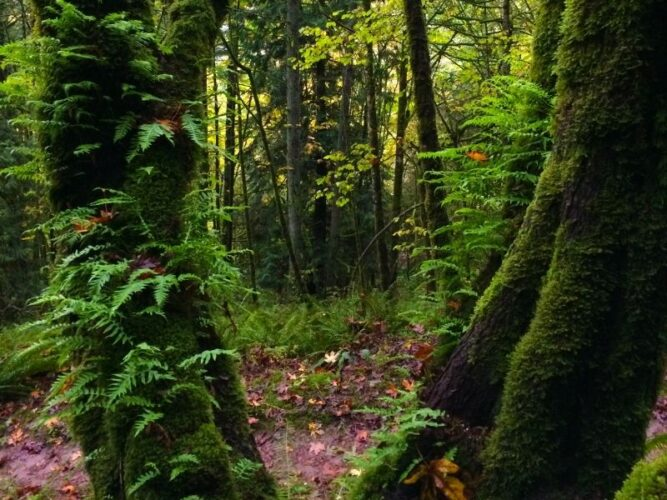 moss covered trees and ferns on the mt talbert trail in portland oregon