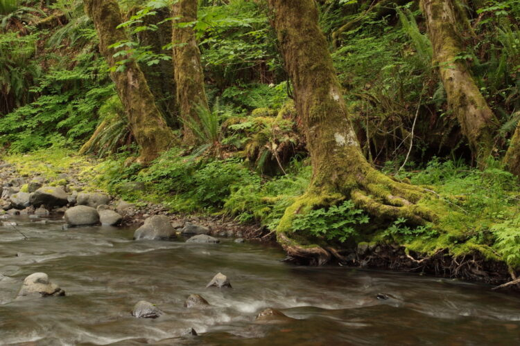 the fast moving Gales Creek in Tillamook State Forest near portland or