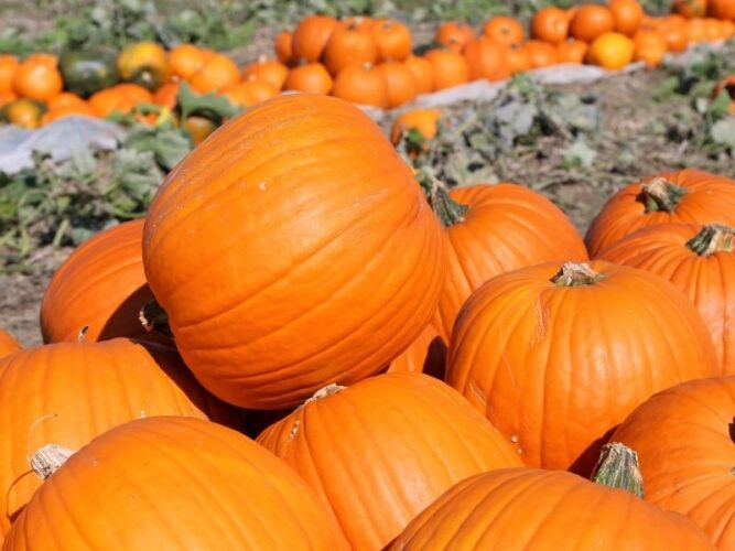 a pile of large orange pumpkins perfect for halloween carving