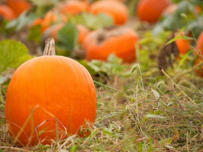 close up of a pumpkin in a field with blurry background
