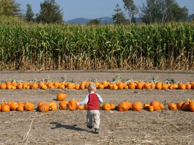 little kid with blond hair running towards pumpkins with a corn maze behind the pumpkins