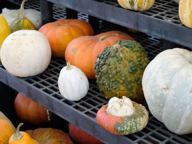 a selection of different unique looking gourds in different sizes and shapes for sale at an oregon pumpkin patch