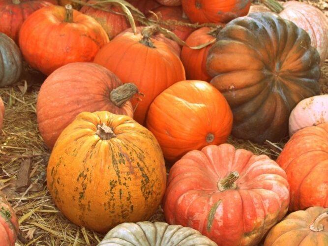 a selection of heirloom pumpkins sold at a pumpkin farm in oregon