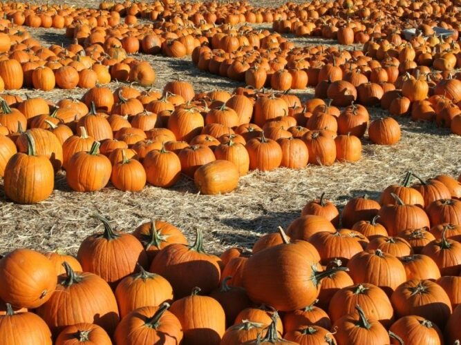 a wide variety of pumpkins of all sizes on the ground with hay at a pumpkin farm