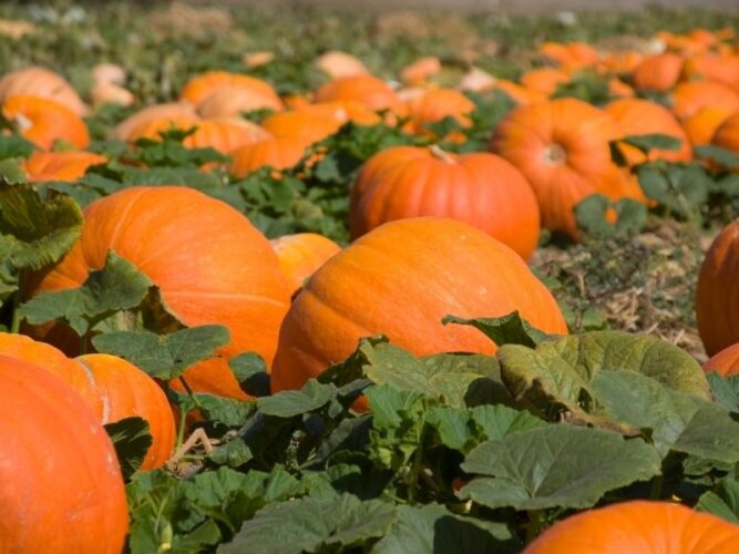 pumpkins in a field with green leaves ready for harvesting