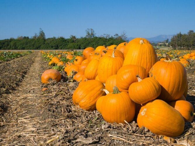 piled up pumpkins on a small pumpkin farm in oregon