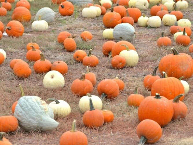 a selection of white, gray, and orange pumpkins