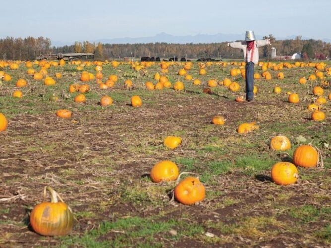 pumpkins in a field with a scarecrow with a bucket on his head